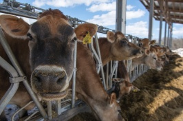 UNH scientists receive $2M grant to support organic dairy industry