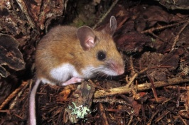Generalist rodents such as this deer mouse disperse fungal spores at a time when many seeds are germinating