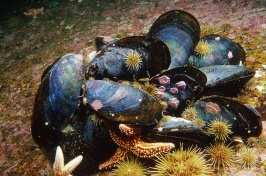 cluster of mussels on ocean floor