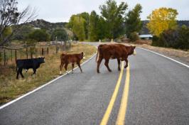 Cows cross an empty road in rural America