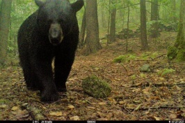Large black bear looks directly at a trail camera