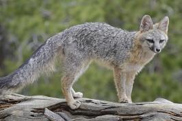 Listeria Found in Wild Gray Foxes in New Hampshire