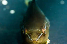 Lumpfish Hold Potential for Managing Sea Lice Infestations at Fish Farms