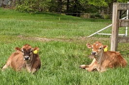 Scientists will discuss their research findings about improving colostrum quality and quantity at a Dairy Research Field Day Tuesday, June 15, 2021.