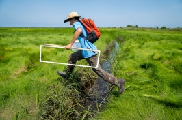 Researcher strides across ditch in salt marsh carrying square trancept