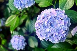 Photo of Endless Summer hydrangea (blue)