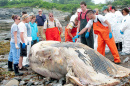 MINKE WHALE DISSECTION