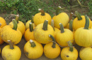 yellow pumpkin named Sunlight