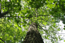 New Hampshire State Champ American chestnut tree