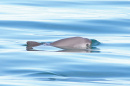 A vaquita, the world's smallest and rarest porpoise