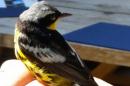 A close-up photo of a warbler
