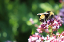 a bumblebee on some flowers, photo by Molly Jacobson of UNH