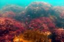 Underwater shot of reddish seaweed