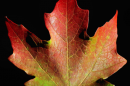 a colorful maple leaf