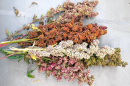 Multicolored quinoa seed heads grown at the UNH Woodman Horticultural Research Farm in 2017