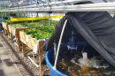 UNH lettuce grown with an aquaponic system