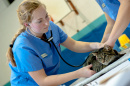 UNH student with a cat in the PAWS clinic, part of the veterinary technology program
