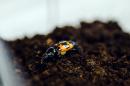 a burying beetle