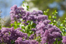 lilacs on campus