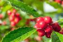detail of red berries