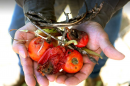 Tomato plant killed by dicamba weed killer