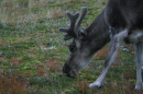 A reindeer with fuzzy antlers browses for food on the ground.