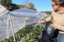 greenhouse worker checking strawberries