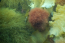 Red round invasive seaweed sits amid other green native seaweed species on the bottom of the ocean.