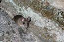 Desert mouse