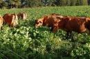 Cows grazing in brassica