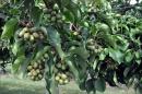 Vine full of kiwiberries