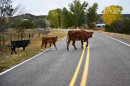 Cows cross an empty road in rural America