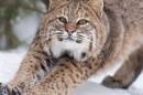 Are New Hampshire's Bobcats Well-Connected?