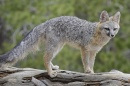 Listeria Found in Wild Gray Foxes in New Hampshire