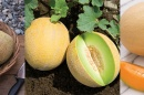 Learn How to Grow Melons in Your Garden