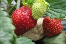 Extending N.H.'s Strawberry Season with Low Tunnels