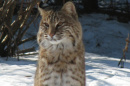 Bobcat in winter.