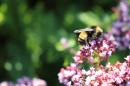 Bombus terricola bee