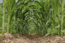 interrow of corn