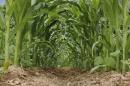 interrow of corn