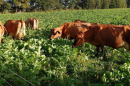 Cows grazing in brassica. Credit: Andre Brito