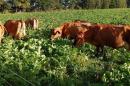 Cows grazing in brassica. Credit: Andre Brito