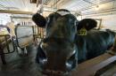 Fairchild cow