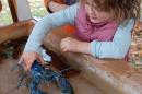 Girl holds blue lobster at UNH Ocean Discovery Day.