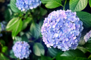 Photo of Endless Summer hydrangea (blue)
