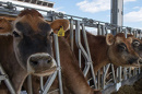 Jersey cows at the Organic Dairy Research Farm eat grain at a feeding station.