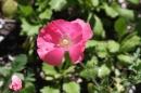 Poppy at Prescott Park