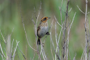 Picture of the Saltmarsh Sparrow. (Credit: Dominic Sherony)