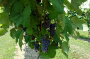 grapes on a vine at University of New Hampshire