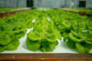 hydroponic lettuce grown at UNH